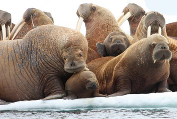 A colony of Pacific walrus. Like many Arctic mammals, climate change and melting sea ice are contributing to the decline of their population. (Photo: AP)