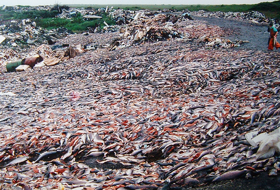 Tens of thousands of salmon are killed and stripped of their roe for caviar every year. (Photo: Pacific Environment)