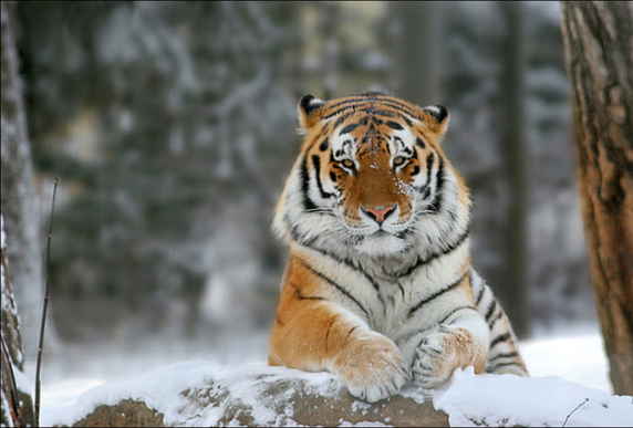 The magnificent Siberian tiger. (Photo: Sergei Balski)