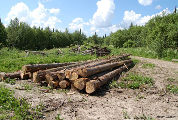 Cut down ancient trees in the Zalesovsky preserve. (Photo: L. Kerley)